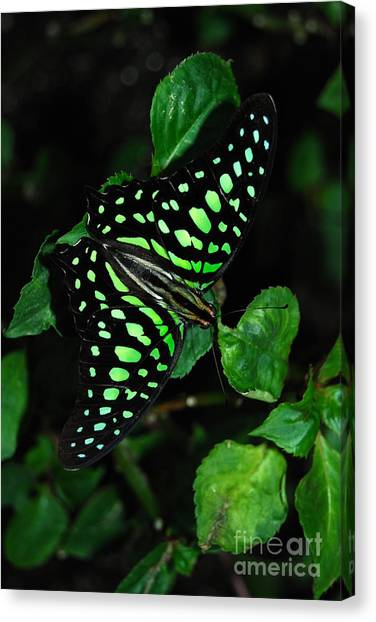 Tailed Jay Butterfly Canvas Print