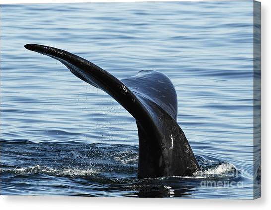 Tailfin Of Southern Right Whale In Water Canvas Print by Sami Sarkis