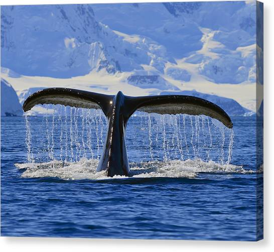 Tails From Antarctica Canvas Print
