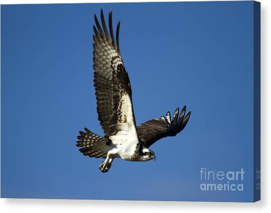 Osprey Canvas Print - Take Flight by Mike  Dawson