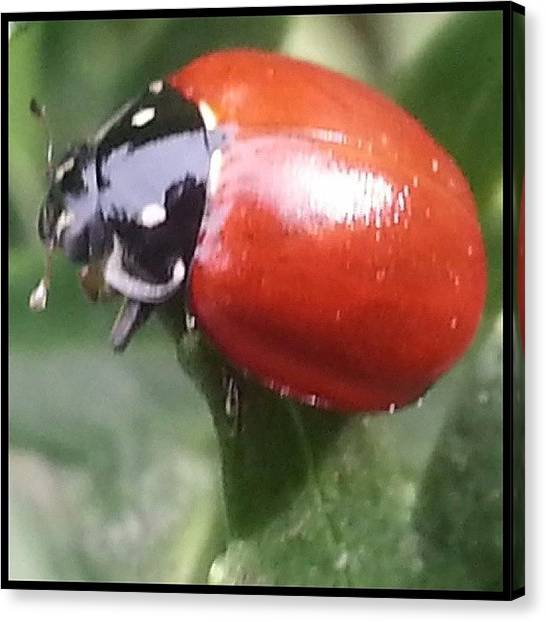 Beetles Canvas Print - Taking A Look Around For A Place To by Kevin Previtali