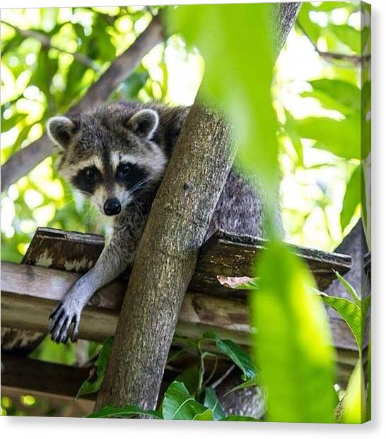 Raccoons Canvas Print - Taking An Afternoon Nap In The Mango by Luana De Oliveira