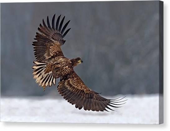 Eagles Canvas Print - Taking Off by Xavier Ortega