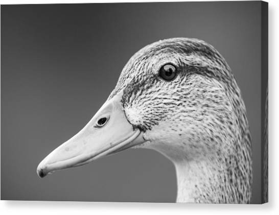 Talk Like A Duck Canvas Print