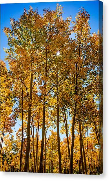 Tall Aspen With Sunstar Canvas Print