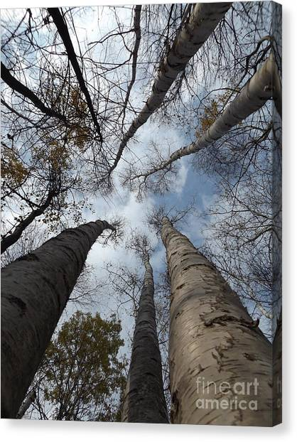 Tall Birch Circle Canvas Print