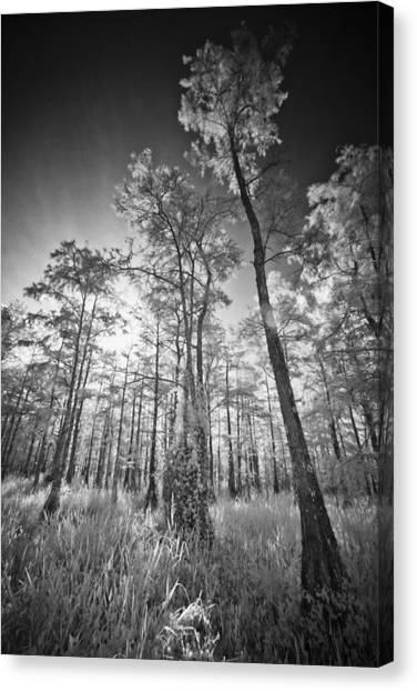 Tall Cypress Trees Canvas Print