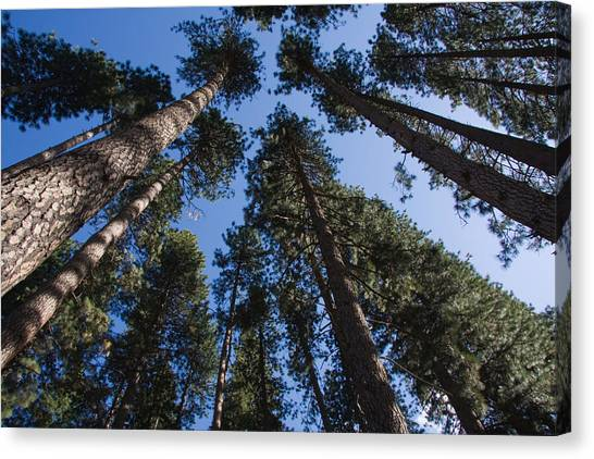 Talls Trees Yosemite National Park Canvas Print