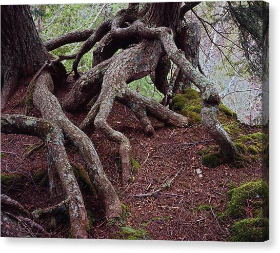 Tangled Roots Canvas Print