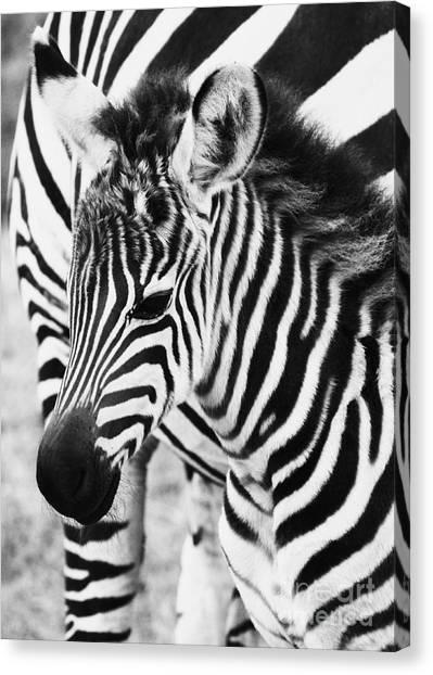 Tanzania Zebra Foal Canvas Print