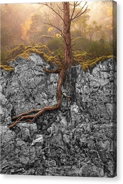 Taproot Canvas Print