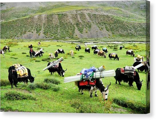 Yak Canvas Print - Tarap Valley In Lower Dolpo by Ducoin David