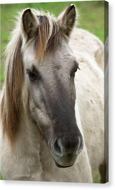 Wild Horse Canvas Print - Tarpan Horse by Bob Gibbons