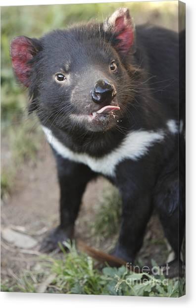 Tasmanian Devil Canvas Print