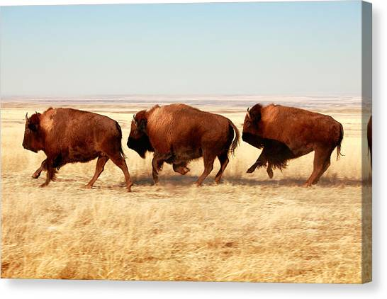 Bison Canvas Print - Tatanka by Todd Klassy