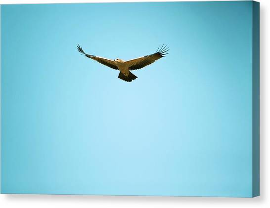 Eagle In Flight Canvas Print - Tawny Eagle In Flight by Dr P. Marazzi/science Photo Library