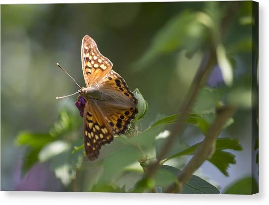 Tawny Emperor On Hibiscus Canvas Print