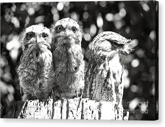 Tawny Frogmouths Canvas Print by David Benson