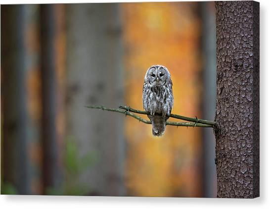 Branch Canvas Print - Tawny Owl by Milan Zygmunt