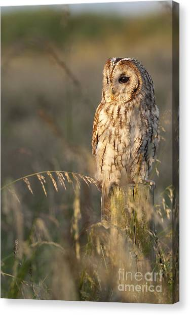 Owls Canvas Print - Tawny Owl by Tim Gainey