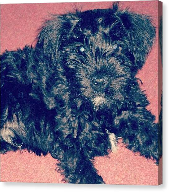 Schnauzers Canvas Print - #tbt My Little Baby Cakes by Laurena Pascoe