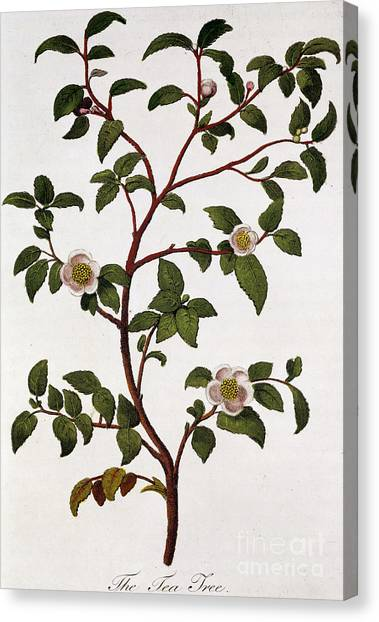 Tea Leaves Canvas Print - Tea Branch Of Camellia Sinensis by Anonymous