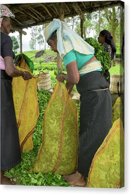 Tea Leaves Canvas Print - Tea Leaves Being Stuffed Into Bag by Panoramic Images