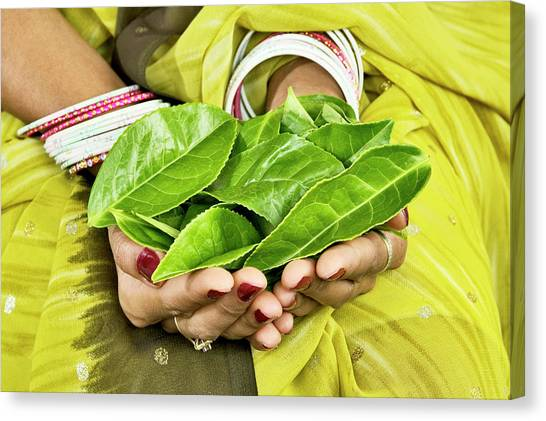 Tea Leaves In Hands Canvas Print by Lea Paterson/science Photo Library