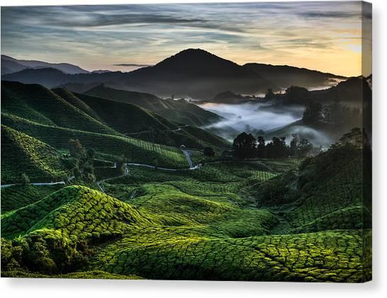 Tea Leaves Canvas Print - Tea Plantation At Dawn by Dave Bowman
