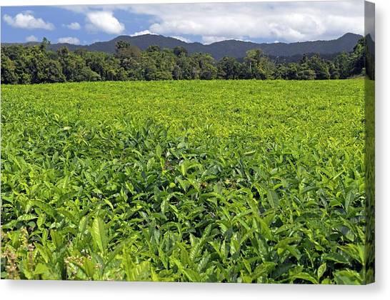 Daintree Rainforest Canvas Print - Tea Plantation by Bildagentur-online/mcphoto-schulz