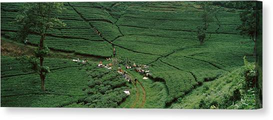 Tea Leaves Canvas Print - Tea Plantation, Java, Indonesia by Panoramic Images
