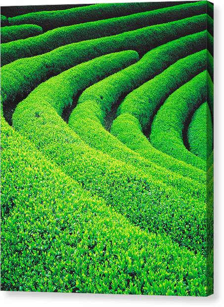 Tea Leaves Canvas Print - Tea Plantation by Panoramic Images