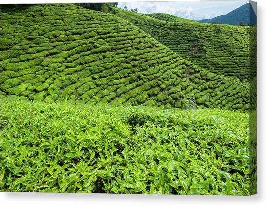 Tea Leaves Canvas Print - Tea Plantations In The Cameron Highlands by Scubazoo