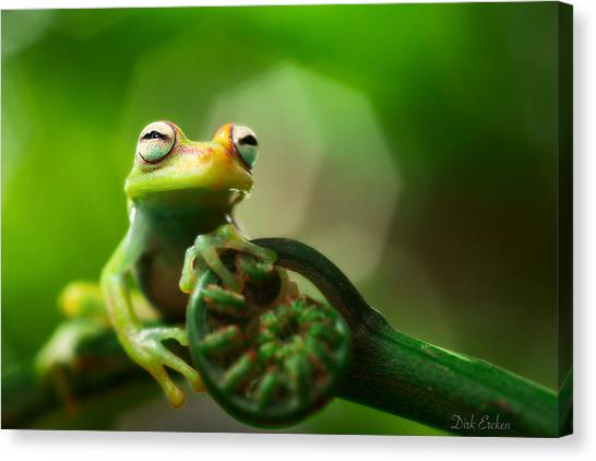 Frogs Canvas Print - tree frog Hypsiboas punctatus by Dirk Ercken