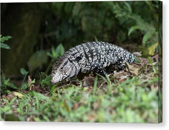 Iguazu Falls Canvas Print - Tegu Lizard by Dr P. Marazzi/science Photo Library