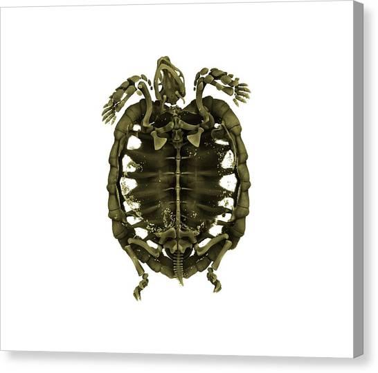 Tortoises Canvas Print - Tent Tortoise by Dan Sykes/natural History Museum, London