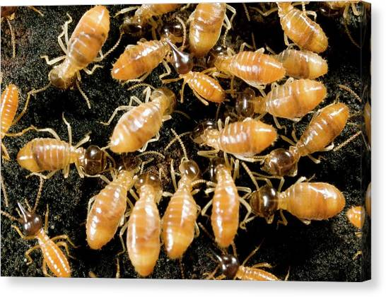 Amazon Rainforest Canvas Print - Termites by Sinclair Stammers/science Photo Library