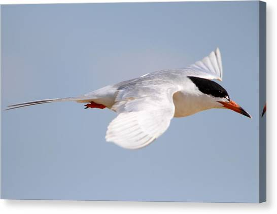 Tern Bird Canvas Print by Diane Rada