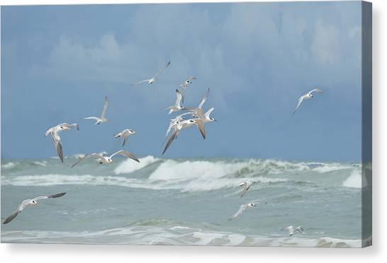 Terns In Flight Canvas Print