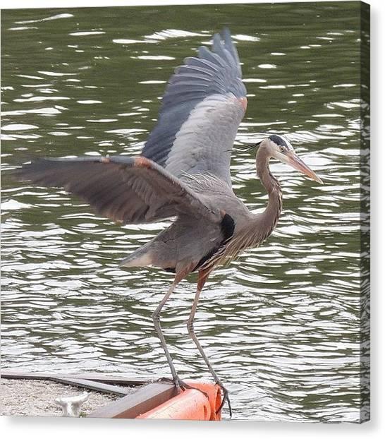Herons Canvas Print - @terri24601 Here Is Another #heron by Robb Needham