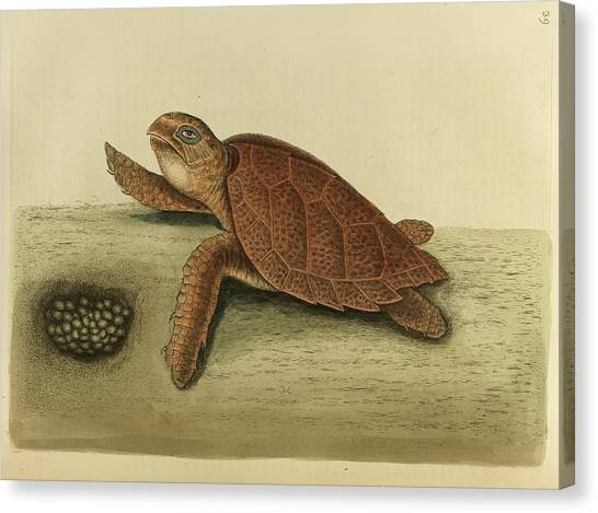Tortoises Canvas Print - Testudo Caretta by British Library