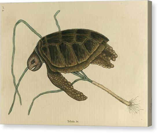 Tortoises Canvas Print - Testudo Marina Viridis by British Library