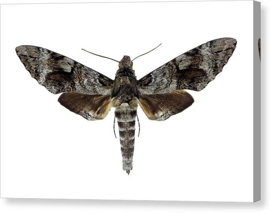 Pollinator Canvas Print - Tetrio Sphinx Moth by F. Martinez Clavel