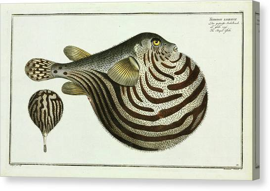 Puffer Canvas Print - Tetrodon Lineatus (arothron Stellatus) by Natural History Museum, London