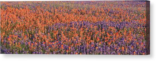 Phlox Canvas Print - Texas Bluebonnets And Indian by Panoramic Images