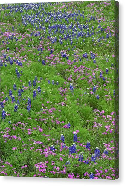 Phlox Canvas Print - Texas Bluebonnets And Pointed Phlox by Tim Fitzharris