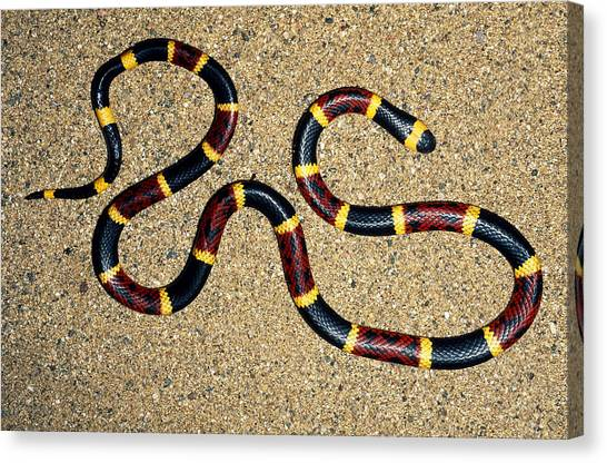 Coral Snakes Canvas Print - Texas Coral Snake by Karl H. Switak