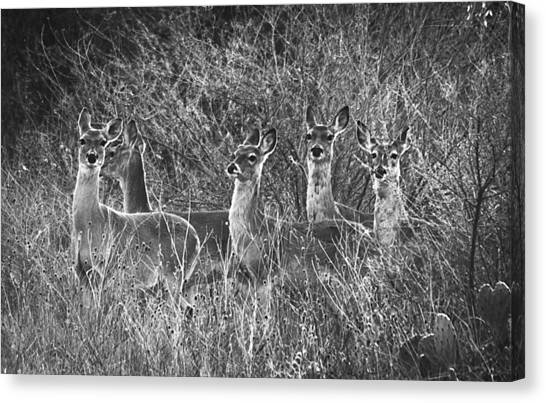 Texas Deer Canvas Print