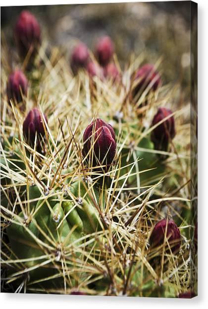 Texas Blooming Cactus Canvas Print