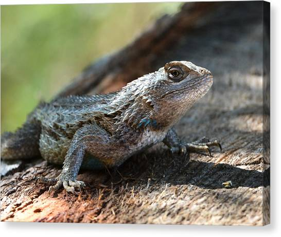 Texas Lizard Canvas Print